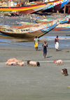 Barra, The Gambia: fishing boats, young men and pigs - beach scene - sounder of swine - photo by M.Torres