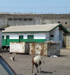 Accra, Ghana: Jamestown district - goats and James Town Beach Mosque - photo by G.Frysinger