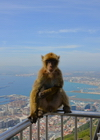Gibraltar: Barbary macaque - the town and the bay of Algeciras in the background - Macaca sylvanus - photo by M.Torres