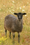 Gotland island: Gotland sheep - Gotlandsfar or Pälsfar - local breed - photo by C.Schmidt