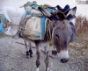 Greek islands - Anafi - Hora: donkey - photo by R.Wallace