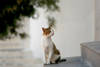 Greek islands - Dodecanese archipelago - Symi island - Panormitis - attentive cat - photo by A.Dnieprowsky