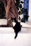 Greek islands - Mykonos (Hora) / Mikonos / JMK: cat (photo by Mona Sturges)