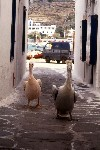 Greek islands - Mykonos (Hora) / Mikonos / JMK: pelicans stroll (photo by Mona Sturges)