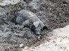 Haiti - Cap-Ha�tien - countryside: a happy pig - hog in the mud - photo by G.Frysinger