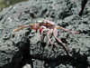 Oahu island - Moakalua: crab on the lava - photo by P.Soter