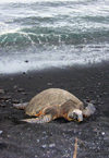 Hawaii island: Hawaiian Green Sea Turtle on the beach - photo by R.Eime