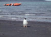 Heard Island - UNESCO World Heritage Site: a gentoo penguin poses - Antarctic wildlife - photo by F.Lynch