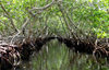 Honduras - Roatan: mangroves - aerial  roots by a canal on the swamp - photo by C.Palacio