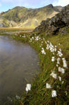 Iceland Cottonweed scenic (photo by B.Cain)