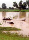 India - Haryana State: Water Buffaloes take it easy after the monsoon - photo by M.Torres