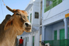 Pushkar, Rajasthan, India: cow and façades - photo by M.Wright