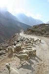 India - Manali to Leh highway: sheep - photo by M.Wright