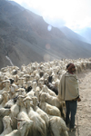 India - Manali to Leh highway: shepherd and his goats - photo by M.Wright