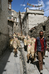 Leh, Ladakh, Jammu and Kashmir, India: a shepherd and his flock - photo by M.Wright