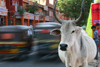Jaipur, Rajasthan, India: cow and traffic - photo by M.Wright