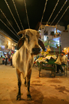 Pushkar, Rajasthan, India: cow at night - photo by M.Wright