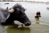 Agra, Uttar Pradesh, India: oxen close up - boys playing in the Yamuna river - photo by G.Koelman