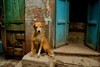 New Delhi, India: stray dog in an alley with a dog in the Old City - photo by G.Koelman