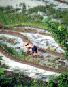 Java, Indonesia: worker on a milky rice field - Asian agriculture - farming - photo by M.Sturges