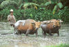 Indonesia - Bali: cattle plowing rice field - Water Buffaloes - Bubalus bubalis - photo by Mona Sturges
