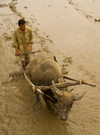 Indonesia - West Sumatra: Lake Maninjau - farmer and buffalo work in the mud - photo by P.Jolivet