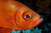 Wakatobi archipelago, Tukangbesi Islands, South East Sulawesi, Indonesia : Crescent-tail Bigeye - Priacanthus hamrur - fish of the family Priacanthidae - Banda Sea - Wallacea - photo by D.Stephens