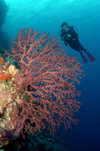 Wakatobi archipelago, Tukangbesi Islands, South East Sulawesi, Indonesia: diver over fan coral - Banda Sea - Wallacea - photo by D.Stephens