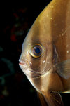 Wakatobi archipelago, Tukangbesi Islands, South East Sulawesi, Indonesia: Orbicular Batfish portrait - Platax orbicularis - Banda Sea - Wallacea - photo by D.Stephens