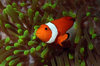Wakatobi archipelago, Tukangbesi Islands, South East Sulawesi, Indonesia: Clownfish in a Ritteri anemone / False Percula Clownfish - Amphiprion ocellaris - Banda Sea - Wallacea - photo by D.Stephens