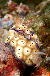 Wakatobi archipelago, Tukangbesi Islands, South East Sulawesi, Indonesia: mating nudibranchs - Chromodoris kuniei, sea slugs - Banda Sea - Wallacea - photo by D.Stephens