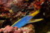 Wakatobi archipelago, Tukangbesi Islands, South East Sulawesi, Indonesia: Blue ribbon eel / Ribbon moray - Rhinomuraena quaesita - family Muraenidae - Banda Sea - Wallacea - photo by D.Stephens