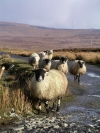Ireland - County Donegal: sheep on the road (photo by R.Wallace)