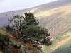 Ireland - Glenmalure valley (county Wicklow): holly tree - mountain (photo by R.Wallace)