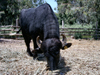 Israel - Hadera: Park Hef Tziba - black bull- photo by Efi Keren