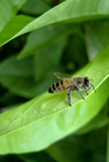 Israel - bee on a leaf - photo by Efi Keren