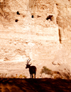 Ein Gedi oasis and National Park, South district, Israel: ibex silhouette - Capra ibex nubiana - photo by E.Keren