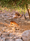 Ein Gedi oasis and National Park, South district, Israel: a pair of ibex look for food among the stones of the Judean Desert - Capra nubiana - bouquetin - Steinbock - photo by E.Keren