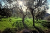 Italy / Italia - Florence / Firenze (Toscany / Toscana) / FLR : in the hills - olive grove (photo by Stefano Lupi)