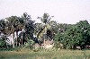 C�te d'Ivoire - Grand Lahou: palm grove on the coast (photo by J.Filshie)