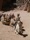 Jordan - Petra / Sela (Maan / Ma'an province): camels resting - photo by R.Wallace