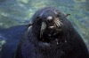 Juan Fernandez islands - islas Juan Fernandez - isla Robinson Crusoe: a seal - close-up (photo by Willem Schipper)