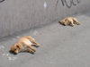 Kaliningrad / Königsberg, Russia: stray dogs bask in the sun / streunende Hunde in der Sonne - photo by P.Alanko
