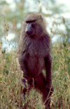 Kenya - Lake Nakuru National Park - Rift Valley province: olive baboon - genus Papio - papio cynocephalus Dutch name: olijfbaviaan English name: olive-baboon - photo by F.Rigaud