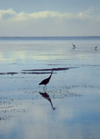 Kenya - Kikambala - Kilifi District: heron on the water - Indian Ocean - fauna - bird - reflection - photo by F.Rigaud
