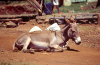 Africa - Kenya - Kericho - Rift Valley Province: donkey resting - photo by F.Rigaud