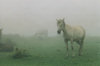 Asia - South Korea - Jeju island / Cheju Island: horse in fog - photo by S.Lapides