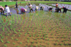 Laos: farmers planting rice in a paddy field - photo by E.Petitalot