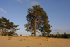 Latvia - Kurzeme - Ventspills Rajon: pines in the sand - pinetree - photo by A.Dnieprowsky