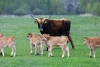 Latvia - Pape: cow and calves (Rucava, Liepajas Rajons - Kurzeme) - photo by A.Dnieprowsky